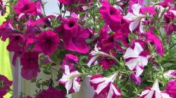 Petunia Care